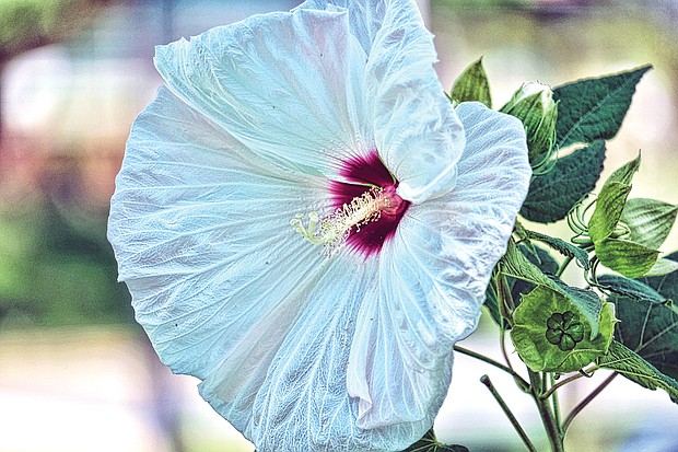 Giant hibiscus in North Side (Sandra Sellars/Richmond Free Press)