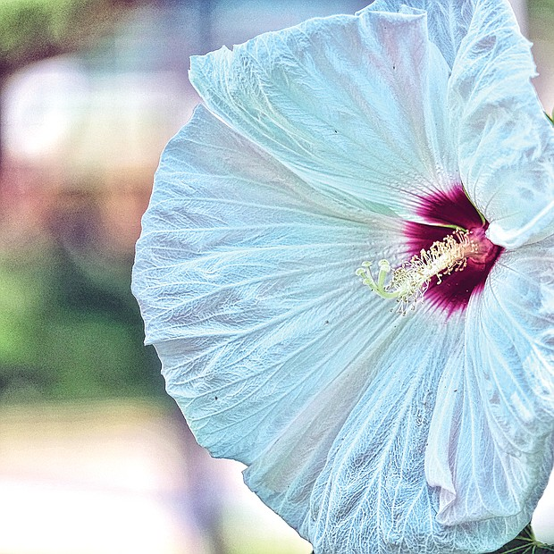 Giant hibiscus in North Side (Sandra Sellars/Richmond Free Press)