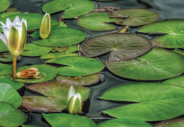 Lily pad in the West End (Sandra Sellars/Richmond Free Press)