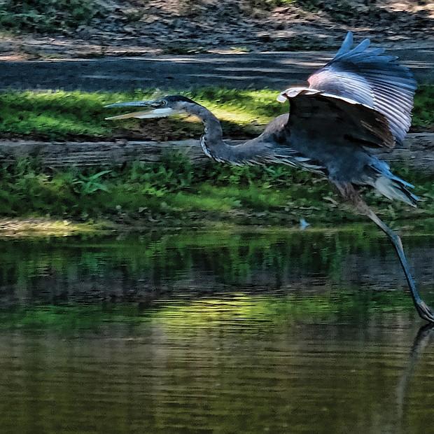 Heron in Eastern Henrico (Sandra Sellars/Richmond Free Press)