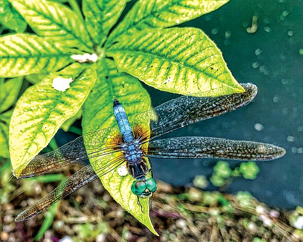 Dragonfly in West End (Sandra Sellars/Richmond Free Press)