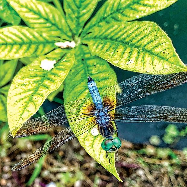 Dragonfly in West End (Sandra Sellars/Richmond Free Press)