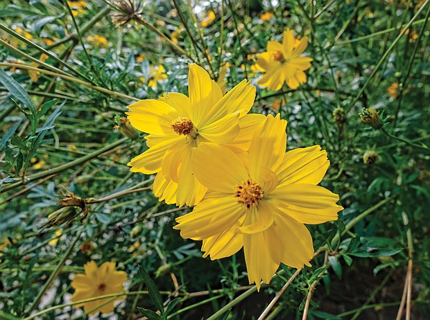 Baby Sun coreopsis in The Fan (Sandra Sellars/Richmond Free Press)