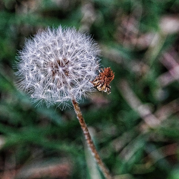 Dandelion in North Side (Sandra Sellars/Richmond Free Press)