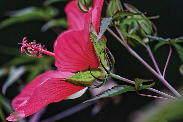 Hibiscus in North Side