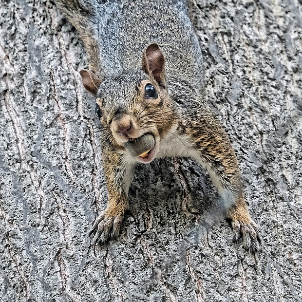 Camouflaged squirrel in West End (Sandra Sellars/Richmond Free Press)