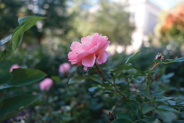 Rose in downtown