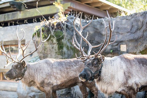 Two furry reindeer arrived at the Oregon Zoo last week and are making themselves right at home.