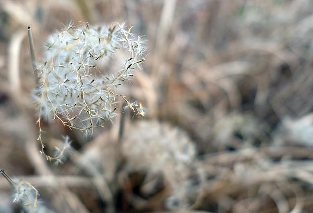 Ornamental grass in Northside