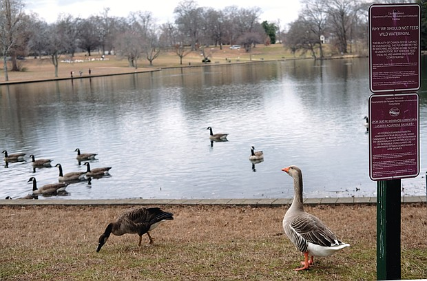 "Ducks and geese walk and swim past signs posted at Swan Lake in Byrd Park that seek to educate human visitors on why they should not indulge in a popular pastime — feeding the waterfowl. One big concern is that feeding them ""people food"" like bread, crackers and other items high in carbohydrates can damage their health, experts note."