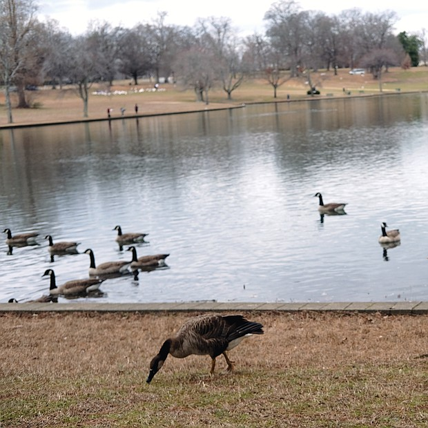 """Ducks and geese walk and swim past signs posted at Swan Lake in Byrd Park that seek to educate human visitors on why they should not indulge in a popular pastime — feeding the waterfowl. One big concern is that feeding them """"people food"""" like bread, crackers and other items high in carbohydrates can damage their health, experts note."""