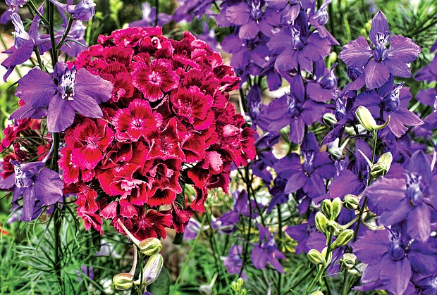 Colorful garden phlox in the West End