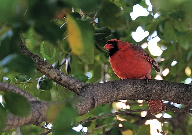 Colorful cardinal in the West End