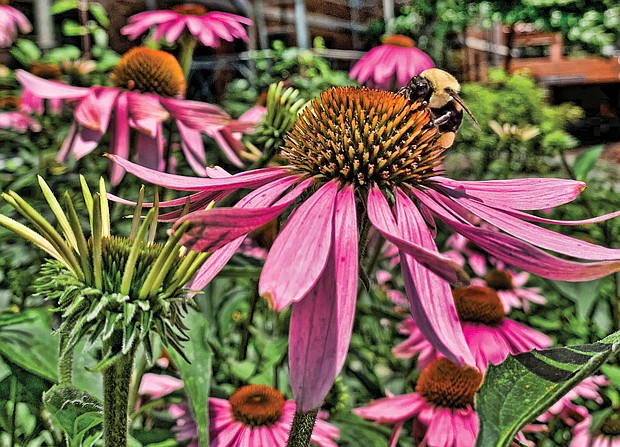 Cone flower in North Side