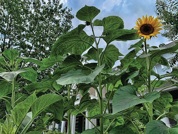 Sunflower in the West End