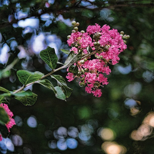 Crepe myrtle in Downtown