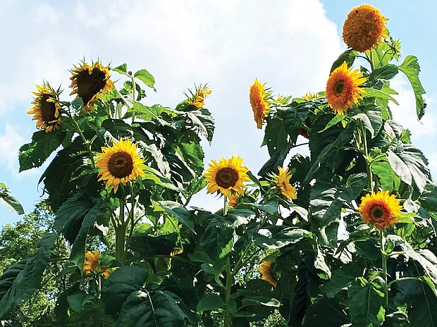 Sunflowers at Shalom Farm in North Side