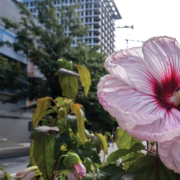 Hibiscus in Downtown