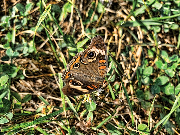 Camouflage butterfly in Varina