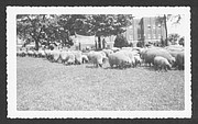 A herd of sheep, being watched by patients and staff, take care of the grass in front of the hospital's medical building, built in 1929. Patients worked on Central State's farm as part of their treatment regimen. The farm was shut down in the 1960s.