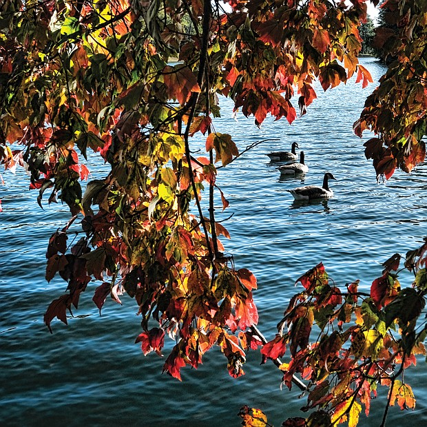 Foliage frames geese at Shields Lake in Byrd Park