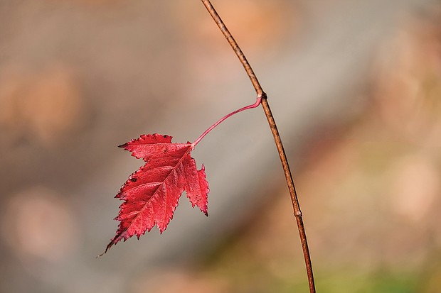 Fall leaf holds on