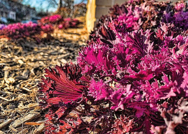 Ornamental kale in the West End