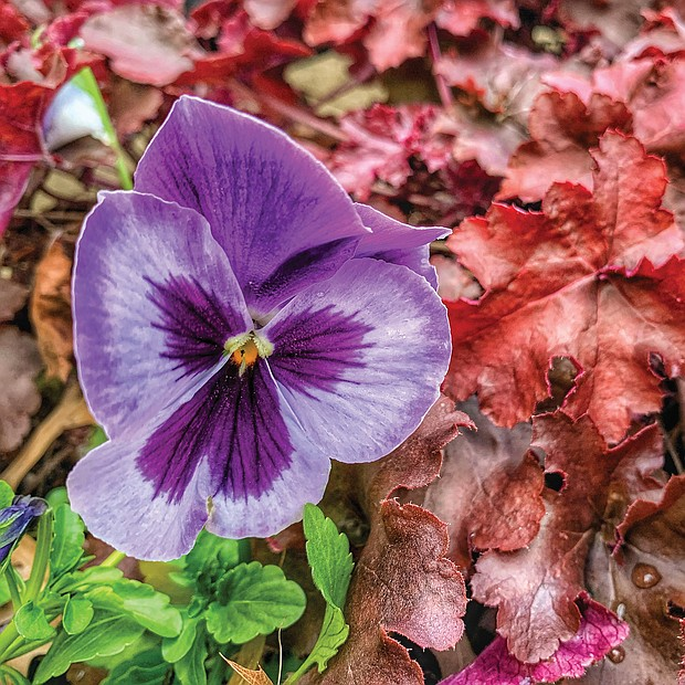 Pansy among the leaves in the West End