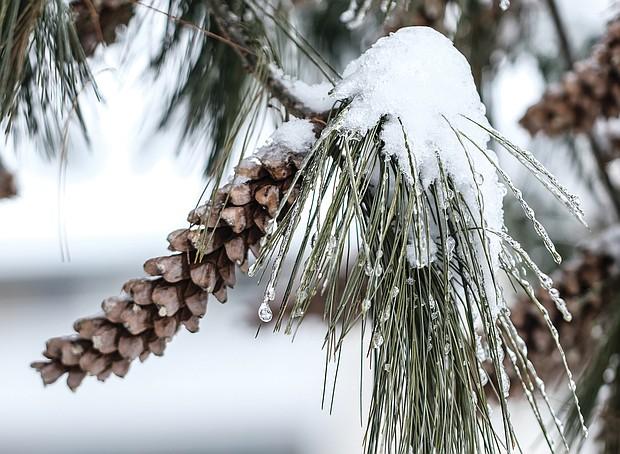 Icy pine needles in Henrico