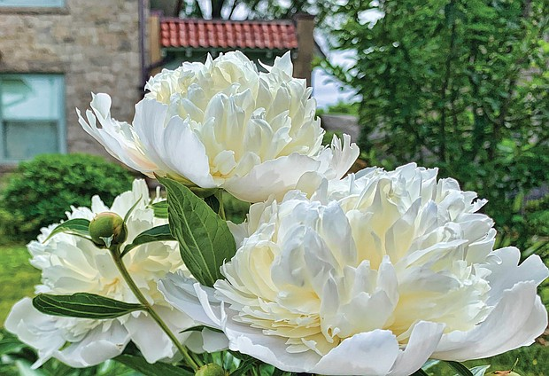 Giant peonies in the Museum District