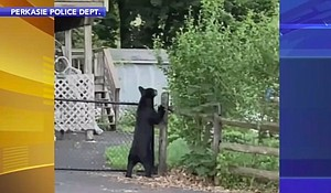 Police and the Pennsylvania Game Commission are on the lookout for one, possibly two bears that have been sposted in Perkasie, Bucks County. Mandatory Credit:Perkasie Police Dept./WPVI