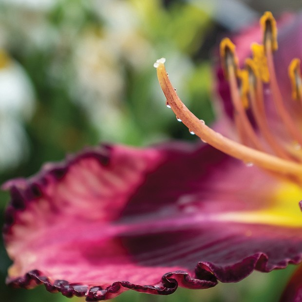 Coloful daylily in the East End