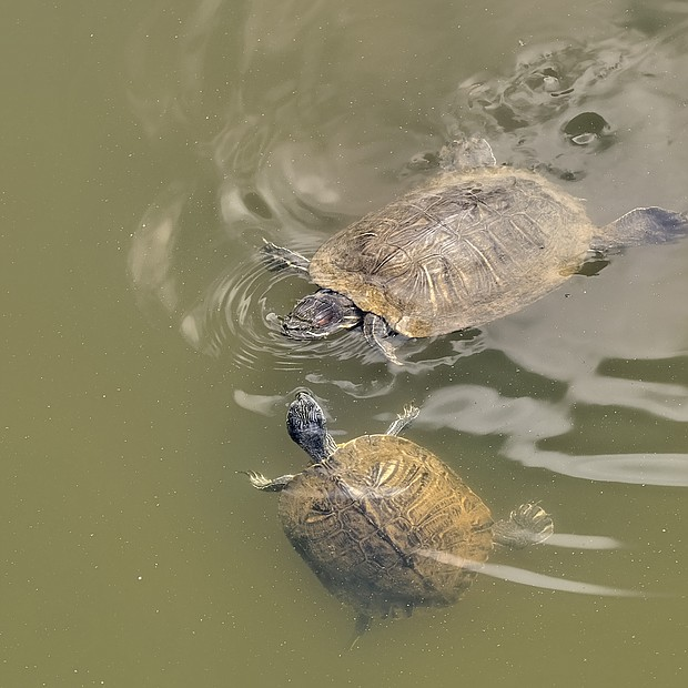 Turtles at Three Lakes Park in Henrico