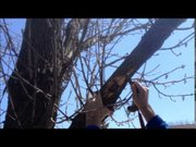The devastation of the Emerald Ash Borer is very evident once Joliet Forester Jim Tieber peels away the bark from one of the infested trees in the Grand Prairie Subdivision on the city's west side.
